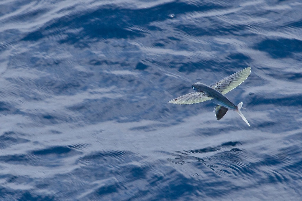 Surprising Facts About Flying Fish 259187196