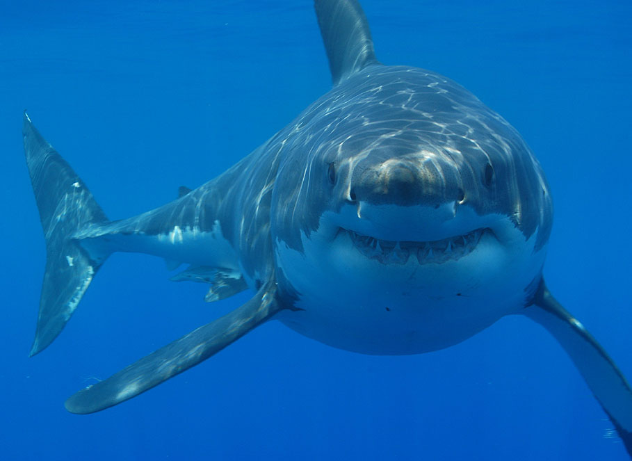 10 Of The Best Pictures Of The Great White Shark