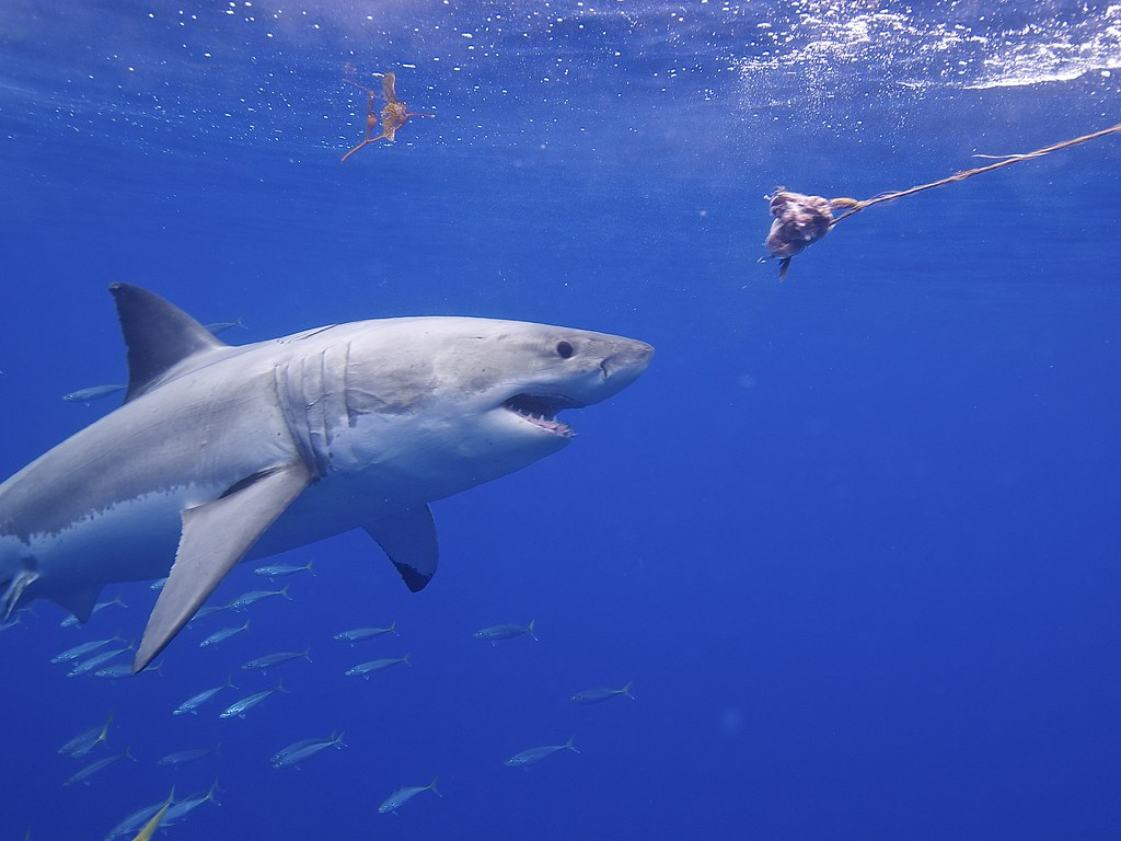10 Of The Best Pictures Of The Great White Shark 684511744