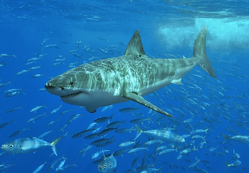 10 Of The Best Pictures Of The Great White Shark 462563065