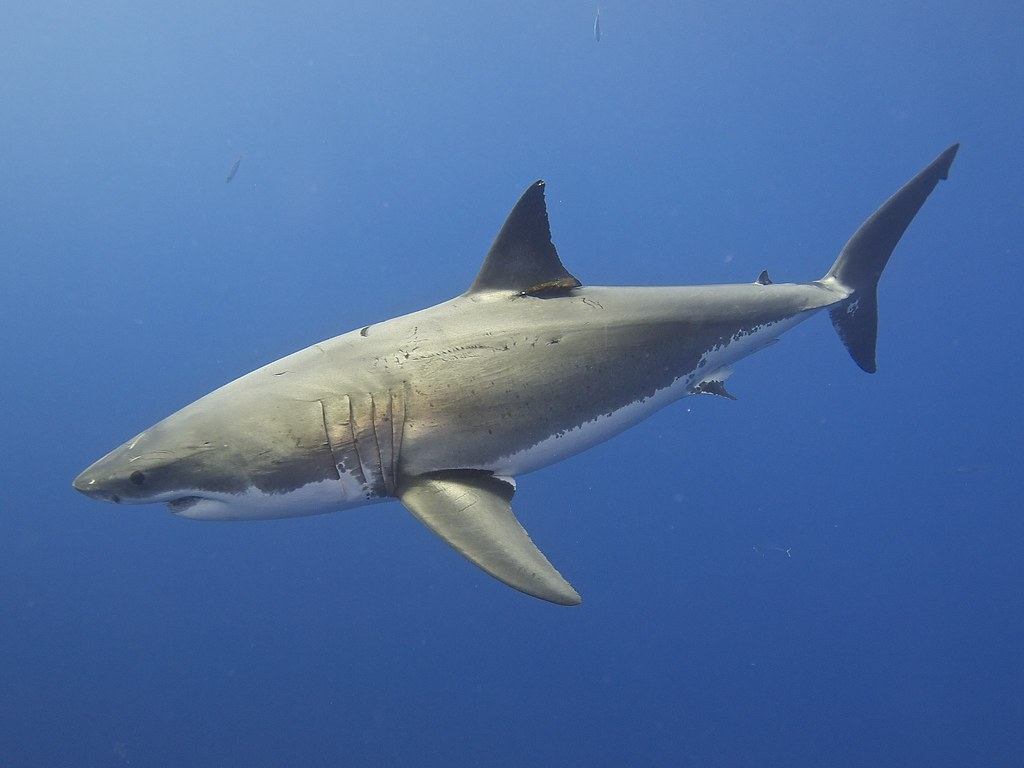 10 Of The Best Pictures Of The Great White Shark 2070083817