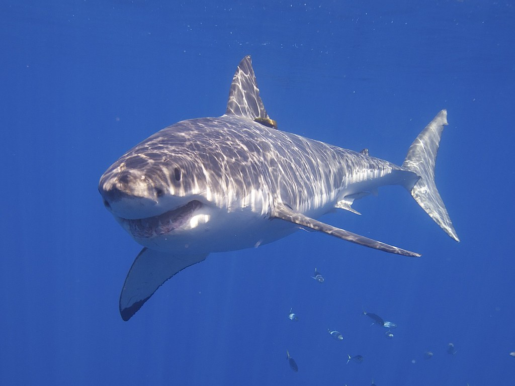 10 Of The Best Pictures Of The Great White Shark 1905576753
